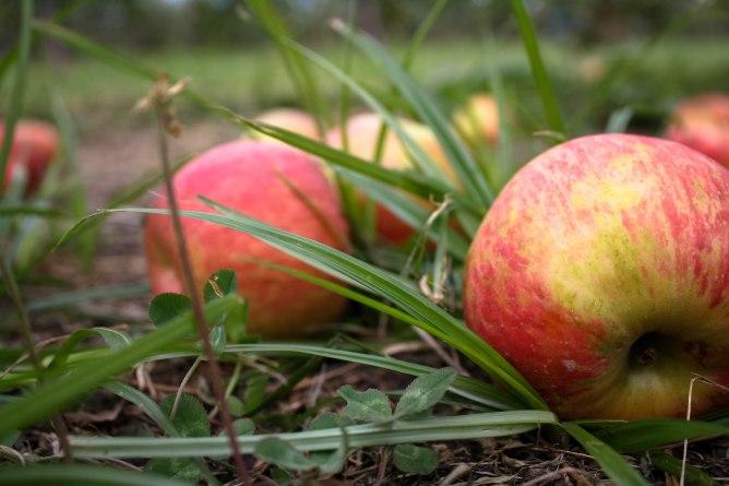 Apple Picking-7