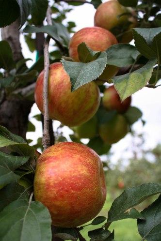Apple Picking-9