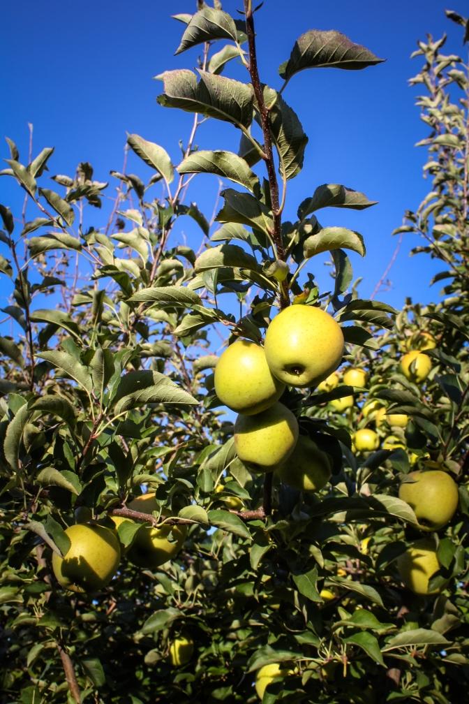 Apple Picking-43