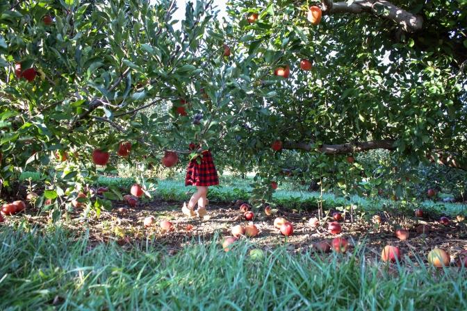 Apple Picking-51